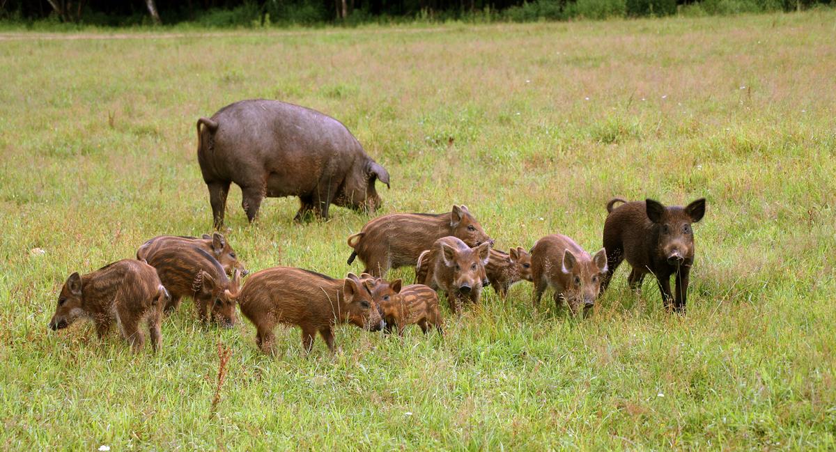 Охота на кабана в Московской области по выгодной цене